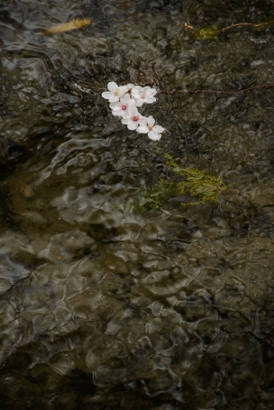 Cherry blossoms in the stream along the Philosopher's Path, Kyoto.