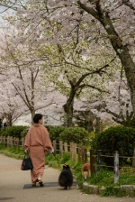 A women dressed in a kimono and traditional wooden shoes walks her dogs under the cherry blossoms along the Philosopher's Path, Kyoto.