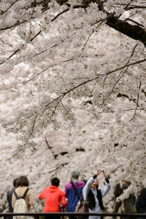 Cherry blossoms along the Philosopher's Path, Kyoto.