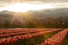 Dawn breaks over a tulip field beneath the Nothern Alps in Toyama Prefecture.