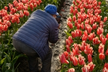 An elderly local resident getting his shot of the tulip field in Toyama Prefecture.