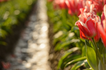 Tulip fields in the dawn light in Toyama Prefecture.