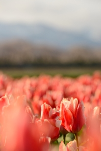 Tulip fields in the early morning light in Toyama Prefecture.