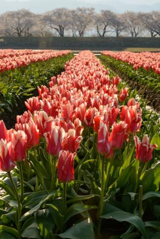 Tulip fields in the early morning light in Toyama Prefecture.