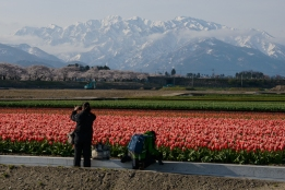 Photographers at a tulip field beneath the Northern Alps in Toyama Prefecture.