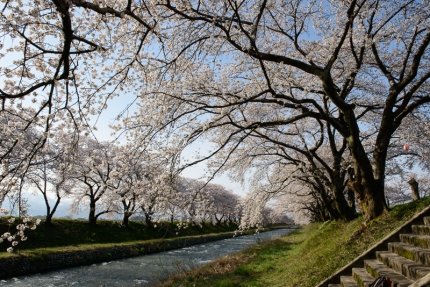 Late season cherry blossoms along a river in Toyama Prefecture.