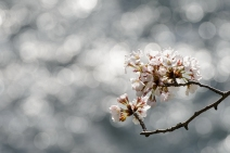 Late season cherry blossoms in Toyama Prefecture.