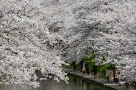 A tunnel of cherry blossoms over a canal in Toyama City, Toyama Prefecture.