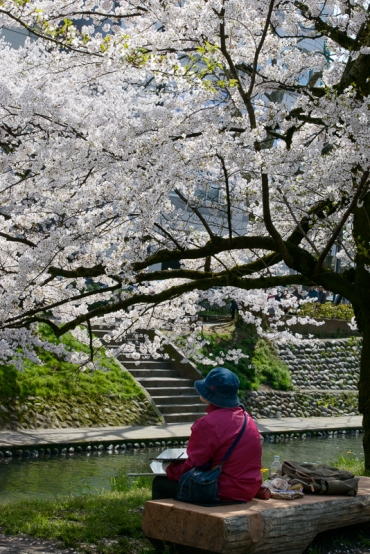 A lady sits drawing beneath the cherry blossoms in Toyama City, Toyama Prefecture.