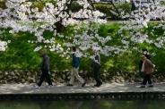 Late season cherry blossoms in Toyama City, Toyama Prefecture.