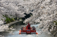 Tourists admiring the cherry blossoms from sightseeing boats in Toyama City, Toyama Prefecture.