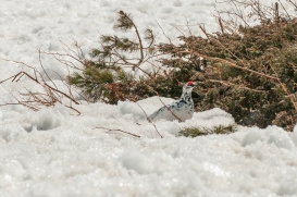 The area's most famous resident - Japanese Ptarmigan (Raicho), Tateyama Kurobe Alpine Route.