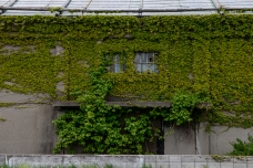 Ivy-clad warehouse in Otaru, Japan.