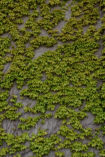 A wall of ivy on a warehouse in Otaru, Hokkaido, Japan.