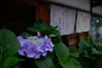 Purple hydrangeas in Kanazawa outside a temple.