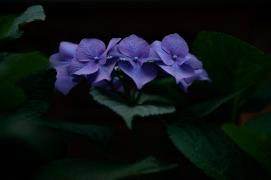 Purple hydrangeas in Kanazawa.