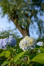 Baby blue hydrangeas in Ishikawa Prefecture.