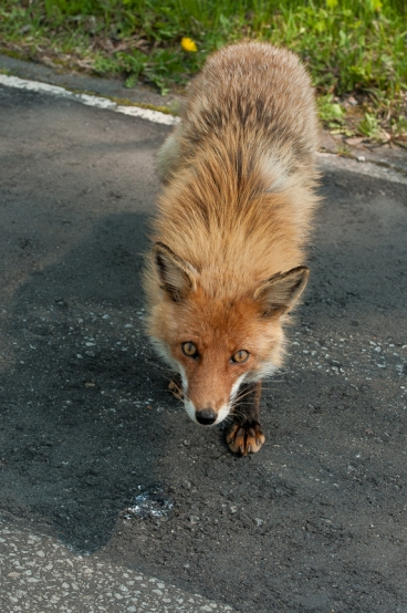 A fearless fox roaming the main road into Daisetsuzan National Park.